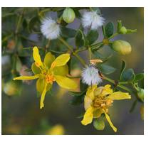 chaparralflower
