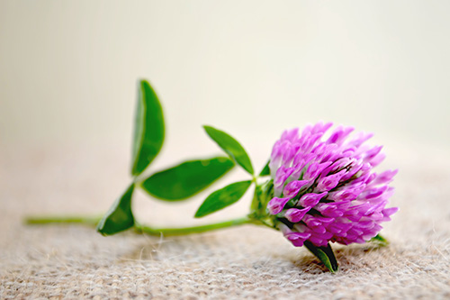red-clover-main