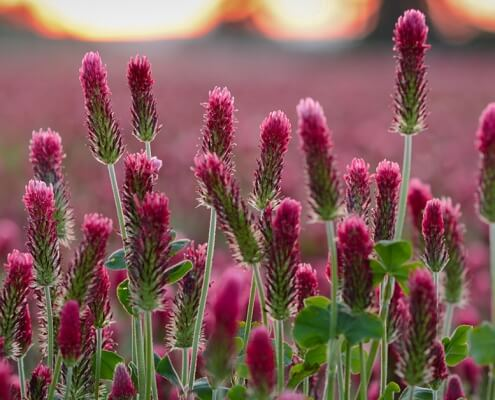 Red Clover (Trifolium pratense) Herbal Tonic Herb for Good Health